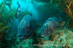 Giant black sea bass, gathering in a mating - courtship aggregation amid kelp forest, Catalina Island. Catalina Island, California, USA, Stereolepis gigas, natural history stock photograph, photo id 33413