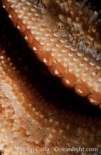 Giant sea star (starfish) detail, Pisaster giganteus, La Jolla, California