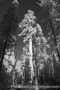 Giant sequoia tree towers over surrounding trees in a Sierra forest.  Infrared image, Sequoiadendron giganteum, Mariposa Grove