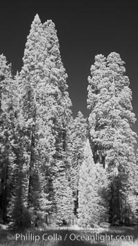 Giant sequoia tree towers over surrounding trees in a Sierra forest.  Infrared image. Mariposa Grove, Sequoiadendron giganteum, natural history stock photograph, photo id 23305