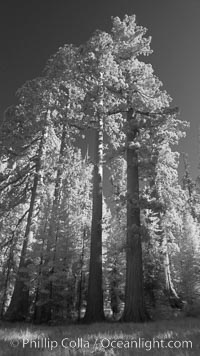 Image 23306, Giant sequoia tree towers over surrounding trees in a Sierra forest.  Infrared image. Mariposa Grove, Sequoiadendron giganteum, Phillip Colla, all rights reserved worldwide.   Keywords: california:environment:forest:giant:giant redwood:giant sequoia:giant sequoia tree:grove:infrared:infrared photography:landscape:mariposa grove:national park:national parks:nature:outdoors:outside:plant:redwood:redwood tree:scene:scenery:scenic:sequoia:sequoia tree:sequoiadendron giganteum:sierra:sierra nevada:tall:terrestrial plant:tree:usa:world heritage sites:yosemite:yosemite national park:yosemite park.