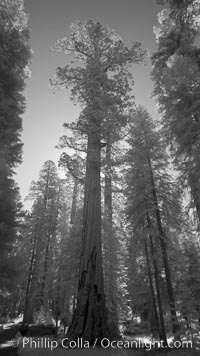 Giant sequoia tree towers over surrounding trees in a Sierra forest.  Infrared image. Mariposa Grove, Sequoiadendron giganteum, natural history stock photograph, photo id 23307