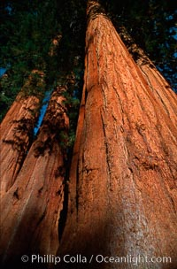 Sequoia trees. Sequoia Kings Canyon National Park, California, USA, Sequoiadendron giganteum, natural history stock photograph, photo id 02335