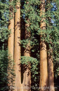 Sequoia trees. Sequoia Kings Canyon National Park, California, USA, Sequoiadendron giganteum, natural history stock photograph, photo id 02352