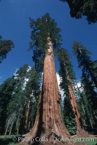 Giant Sequoia tree. Mariposa Grove, Yosemite National Park, California, USA, Sequoiadendron giganteum, natural history stock photograph, photo id 03642