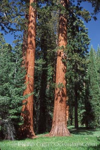 Giant Sequoia tree. Mariposa Grove, Yosemite National Park, California, USA, Sequoiadendron giganteum, natural history stock photograph, photo id 03653
