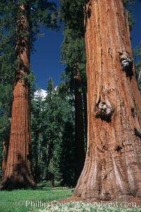 Giant Sequoia tree. Mariposa Grove, Yosemite National Park, California, USA, Sequoiadendron giganteum, natural history stock photograph, photo id 03654