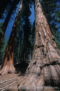 Giant Sequoia tree. Mariposa Grove, Yosemite National Park, California, USA, Sequoiadendron giganteum, natural history stock photograph, photo id 03656