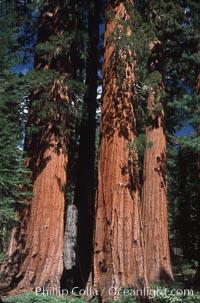 Giant Sequoia tree. Mariposa Grove, Yosemite National Park, California, USA, Sequoiadendron giganteum, natural history stock photograph, photo id 03658