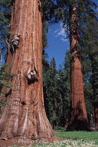 Giant Sequoia tree. Mariposa Grove, Yosemite National Park, California, USA, Sequoiadendron giganteum, natural history stock photograph, photo id 03659