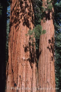Image 03664, Giant Sequoia tree. Mariposa Grove, Yosemite National Park, California, USA, Sequoiadendron giganteum