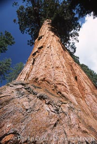 Image 03667, Giant Sequoia tree. Mariposa Grove, Yosemite National Park, California, USA, Sequoiadendron giganteum, Phillip Colla, all rights reserved worldwide. Keywords: california, environment, forest, giant, giant redwood, giant sequoia, giant sequoia tree, grove, landscape, mariposa grove, national park, national parks, nature, outdoors, outside, plant, redwood, redwood tree, scene, scenery, scenic, sequoia, sequoia tree, sequoiadendron giganteum, sierra, sierra nevada, tall, terrestrial plant, tree, usa, world heritage sites, yosemite, yosemite national park, yosemite park.