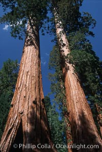 Giant Sequoia tree. Mariposa Grove, Yosemite National Park, California, USA, Sequoiadendron giganteum, natural history stock photograph, photo id 03669