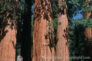 Giant Sequoia tree, Sequoiadendron giganteum, Mariposa Grove, Yosemite National Park, California