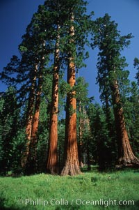 Sequoia tree, Mariposa Grove, Sequoiadendron giganteum, Yosemite National Park, California