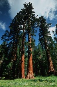Sequoia trees, Mariposa Grove. Yosemite National Park, California, USA, Sequoiadendron giganteum, natural history stock photograph, photo id 07607