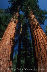 Sequoia trees, Mariposa Grove. Yosemite National Park, California, USA, Sequoiadendron giganteum, natural history stock photograph, photo id 07608