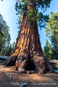 The Robert E. Lee tree was named in 1875 for the famous Confederate general. This enormous Sequoia tree, located in Grant Grove within Kings Canyon National Park, is over 22 feet in diameter and 254 feet high. It has survived many fires, as evidenced by the scars at its base. Its fibrous, fire-resistant bark, 2 feet or more in thickness on some Sequoias, helps protect the giant trees from more severe damage during fires. Grant Grove, Sequoia Kings Canyon National Park, California, USA, Sequoiadendron giganteum, natural history stock photograph, photo id 09860