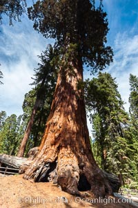 The Robert E. Lee tree was named in 1875 for the famous Confederate general. This enormous Sequoia tree, located in Grant Grove within Kings Canyon National Park, is over 22 feet in diameter and 254 feet high. It has survived many fires, as evidenced by the scars at its base. Its fibrous, fire-resistant bark, 2 feet or more in thickness on some Sequoias, helps protect the giant trees from more severe damage during fires. Grant Grove, Sequoia Kings Canyon National Park, California, USA, Sequoiadendron giganteum, natural history stock photograph, photo id 09861