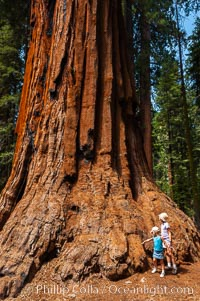 Young hikers are dwarfed by the trunk of an enormous Sequoia tree, Sequoiadendron giganteum, Giant Forest, Sequoia Kings Canyon National Park, California