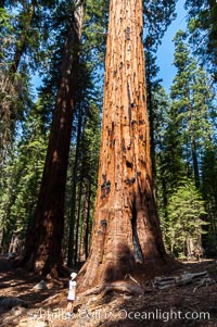 A young hiker is dwarfed by the trunk of an enormous Sequoia tree. Giant Forest, Sequoia Kings Canyon National Park, California, USA, Sequoiadendron giganteum, natural history stock photograph, photo id 09880