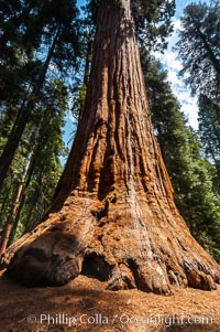 The General Lee, an enormous Sequoia tree, Sequoiadendron giganteum, Giant Forest, Sequoia Kings Canyon National Park, California
