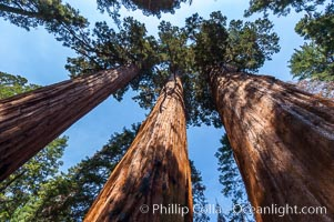 Huge Sequoia trees reach for the sky, creating a canopy of branches hundreds of feet above the forest floor. Sequoia Kings Canyon National Park, California, USA, Sequoiadendron giganteum, natural history stock photograph, photo id 09885