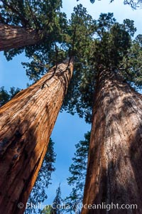 Huge Sequoia trees reach for the sky, creating a canopy of branches hundreds of feet above the forest floor, Sequoiadendron giganteum, Sequoia Kings Canyon National Park, California