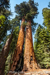 Huge Sequoia trees reach for the sky. Giant Forest, Sequoia Kings Canyon National Park, California, USA, Sequoiadendron giganteum, natural history stock photograph, photo id 09888
