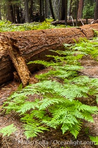 Ferns carpet the forest floor next to a fallen Sequoia tree. Giant Forest, Sequoia Kings Canyon National Park, California, USA, Sequoiadendron giganteum, natural history stock photograph, photo id 09889
