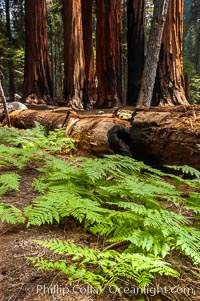 Ferns carpet the forest floor next to a fallen Sequoia tree, Sequoiadendron giganteum, Giant Forest, Sequoia Kings Canyon National Park, California