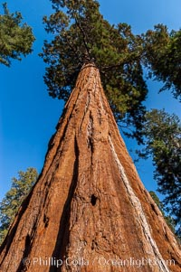 Huge Sequoia trees reach for the sky. Grant Grove, Sequoiadendron giganteum, Sequoia Kings Canyon National Park, California