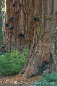 Small trees grow in the shade of Mariposa Grove, between the massive trunks of giant sequoia trees, Sequoiadendron giganteum, Yosemite National Park, California