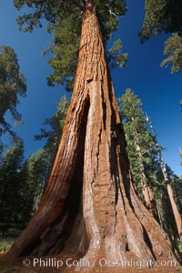 Image 23273, A giant sequoia tree, soars skyward from the forest floor, lit by the morning sun and surrounded by other sequioas.  The massive trunk characteristic of sequoia trees is apparent, as is the crown of foliage starting high above the base of the tree. Mariposa Grove, Yosemite National Park, California, USA, Sequoiadendron giganteum