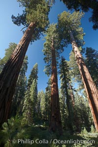 Giant sequioa trees, in the Mariposa Grove soar skyward from the cool, shaded forest floor, Sequoiadendron giganteum, Yosemite National Park, California