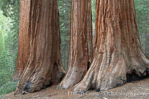 Giant sequoia trees, roots spreading outward at the base of each massive tree, rise from the shaded forest floor, Sequoiadendron giganteum, Mariposa Grove, Yosemite National Park, California