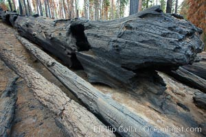 Burnt and fallen giant sequoia tree, killed by forest fire, Sequoiadendron giganteum, Mariposa Grove, Yosemite National Park, California