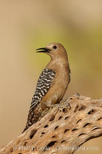 Gila woodpecker, female, Melanerpes uropygialis, Amado, Arizona