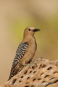 Image 23016, Gila woodpecker, female. Amado, Arizona, USA, Melanerpes uropygialis