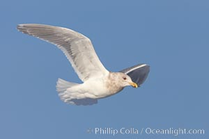 Glaucous-winged gull, in flight, Larus glaucescens, Kachemak Bay, Homer, Alaska