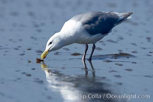 Glaucus-winged gull picks up piece of razor clam left behind by a brown bear on tide flat. Lake Clark National Park, Alaska, USA, Larus glaucescens, natural history stock photograph, photo id 19288