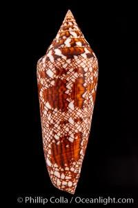 Glory of Bengal cone, Conus bengalensis