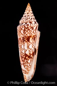Glory of India cone, with operculum, Conus milneedwardsi