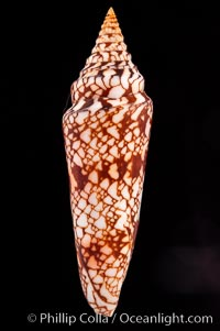 Glory of India cone, Conus milneedwardsi