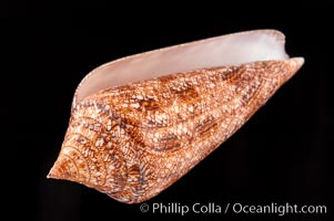 Glory of the Sea cone shell, brown form.  The Glory of the Sea cone shell, once one of the rarest and most sought after of all seashells, remains the most famous and one of the most desireable shells for modern collectors., Conus gloriamaris, natural history stock photograph, photo id 08735
