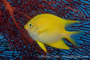 Golden Damselfish and Red Gorgonian Sea Fan, Fiji, Amblyglyphidodon aureus, Gorgonacea, Plexauridae, Makogai Island, Lomaiviti Archipelago