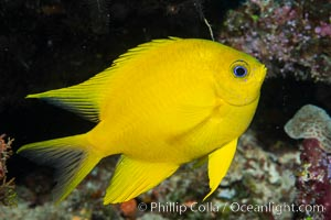 Golden Damselfish, Fiji. Namena Marine Reserve, Namena Island, Fiji, Amblyglyphidodon aureus, natural history stock photograph, photo id 34899