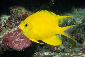 Golden Damselfish, Fiji. Namena Marine Reserve, Namena Island, Fiji, Amblyglyphidodon aureus, natural history stock photograph, photo id 34999