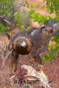 Golden eagle consumes a rabbit., Aquila chrysaetos, natural history stock photograph, photo id 12221