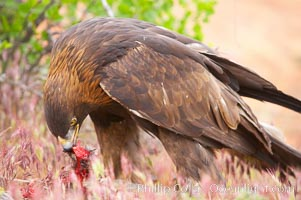 Golden eagle consumes a rabbit, Aquila chrysaetos